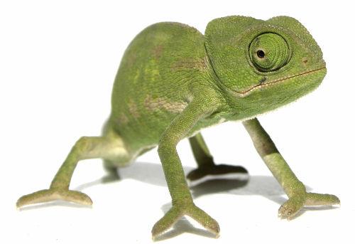 vivi™ chameleon